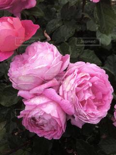 薔薇1の写真・画像素材[4873969]