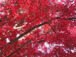 紅の写真・画像素材[4883649]