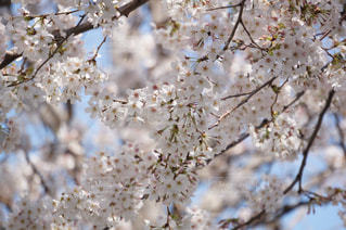 満開の桜の写真・画像素材[1089808]