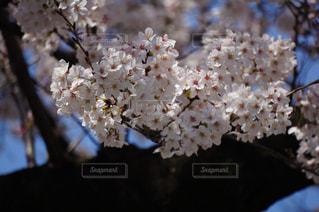 満開の桜の写真・画像素材[1089809]