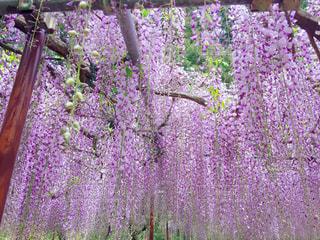 大きな紫色の花は、庭の写真・画像素材[879416]