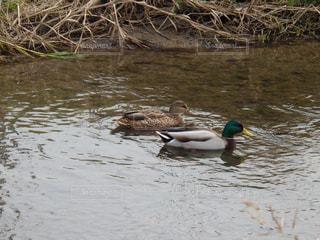 川を泳ぐ、つがいの鴨の写真・画像素材[891775]