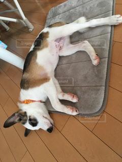 昼寝中の愛犬の写真・画像素材[893237]