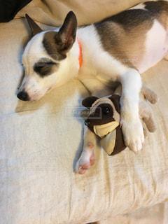 お昼寝中の愛犬とパグちゃん。の写真・画像素材[893243]