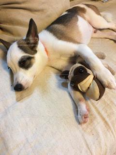 お昼寝中の愛犬とお気に入りのパグちゃんの写真・画像素材[893245]