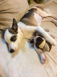 お昼寝中の愛犬とお気に入りのぬいぐるみの写真・画像素材[893246]
