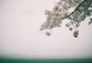 桜の写真・画像素材[887897]