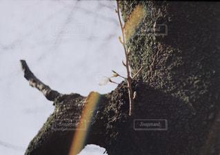 桜のつぼみの写真・画像素材[887900]