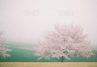 霧の中の桜の写真・画像素材[1053974]