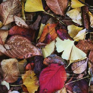 落ち葉のじゅうたんの写真・画像素材[880586]