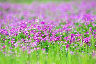 蓮華の花の写真・画像素材[1062610]
