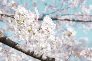 ポカポカ日和の桜の写真・画像素材[4770746]