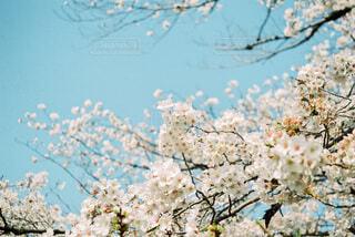 青空と桜の写真・画像素材[4770758]