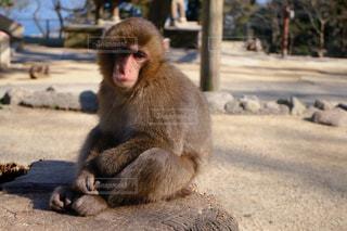 地面に座っている猿の写真・画像素材[881342]