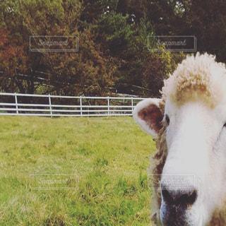 茶色と白の羊 牧場での写真・画像素材[881195]