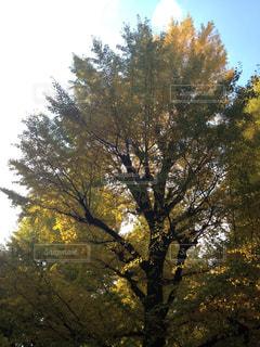 いちょうの木の写真・画像素材[881352]