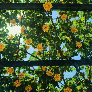 薔薇の写真・画像素材[914175]