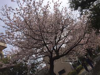 満開の桜の写真・画像素材[881984]