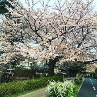満開の桜の写真・画像素材[882001]
