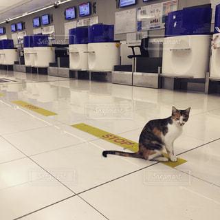 チェックインカウンターに座っている猫の写真・画像素材[882344]