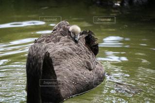 親鳥の背中に乗ったコクチョウの写真・画像素材[882505]
