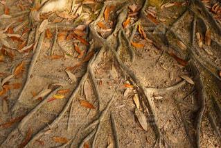 木の根 - No.910597