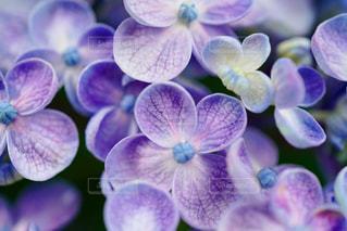 可愛い紫陽花の写真・画像素材[882230]