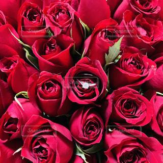 100本のバラと婚約指輪③の写真・画像素材[3490375]
