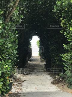 備瀬のフクギ並木の写真・画像素材[1441194]