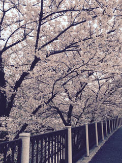 桜並木の写真・画像素材[883365]