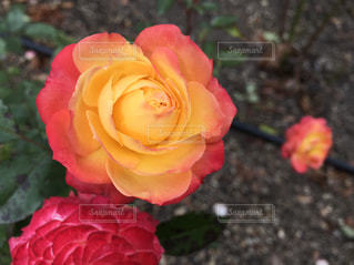 秋のバラ - No.883390