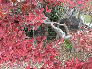 アキニレの紅葉の写真・画像素材[883492]