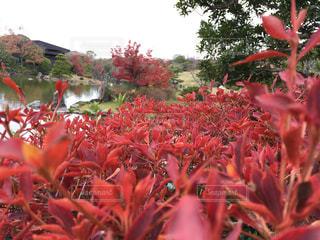 アキニレの紅葉の写真・画像素材[883493]