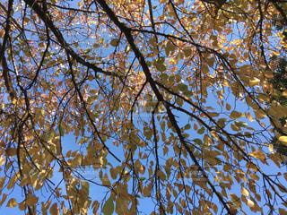 紅葉した桜の木 - No.883684