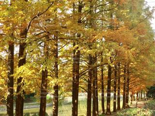 森の大きな木の写真・画像素材[884616]