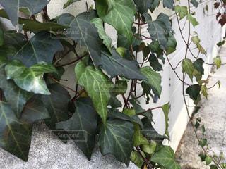 庭のアイビーの写真・画像素材[892636]
