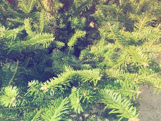 クリスマスツリーの写真・画像素材[896252]