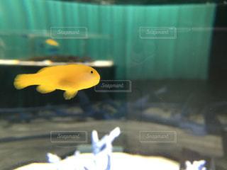 泳ぐ魚の写真・画像素材[920548]