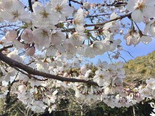 青空と桜の写真・画像素材[987098]