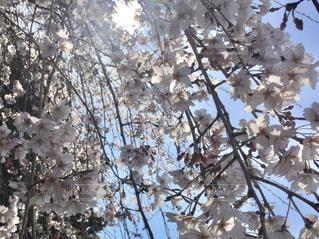 枝垂れ桜の下から太陽を仰ぐの写真・画像素材[987101]