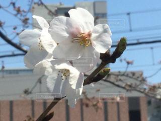 サクラが咲いたの写真・画像素材[987102]