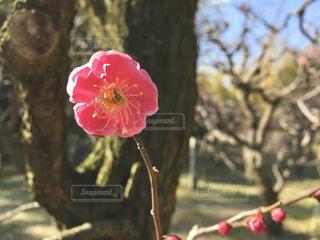 梅園の写真・画像素材[1022797]