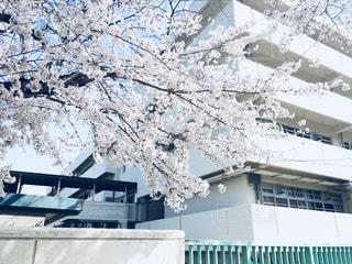 桜の写真・画像素材[1098321]