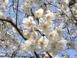 桜の写真・画像素材[1098325]