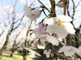 桜の写真・画像素材[1098327]