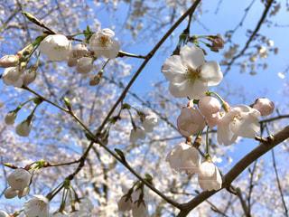 桜の写真・画像素材[1098330]