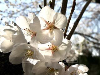 桜の写真・画像素材[1098331]