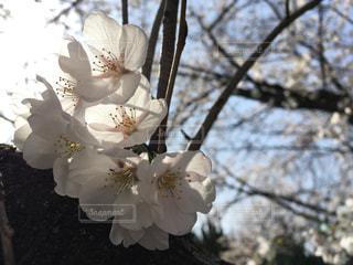 桜の写真・画像素材[1098333]