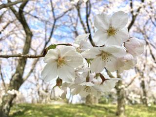 桜の写真・画像素材[1098334]