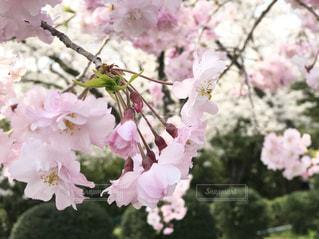 桜の写真・画像素材[1098354]